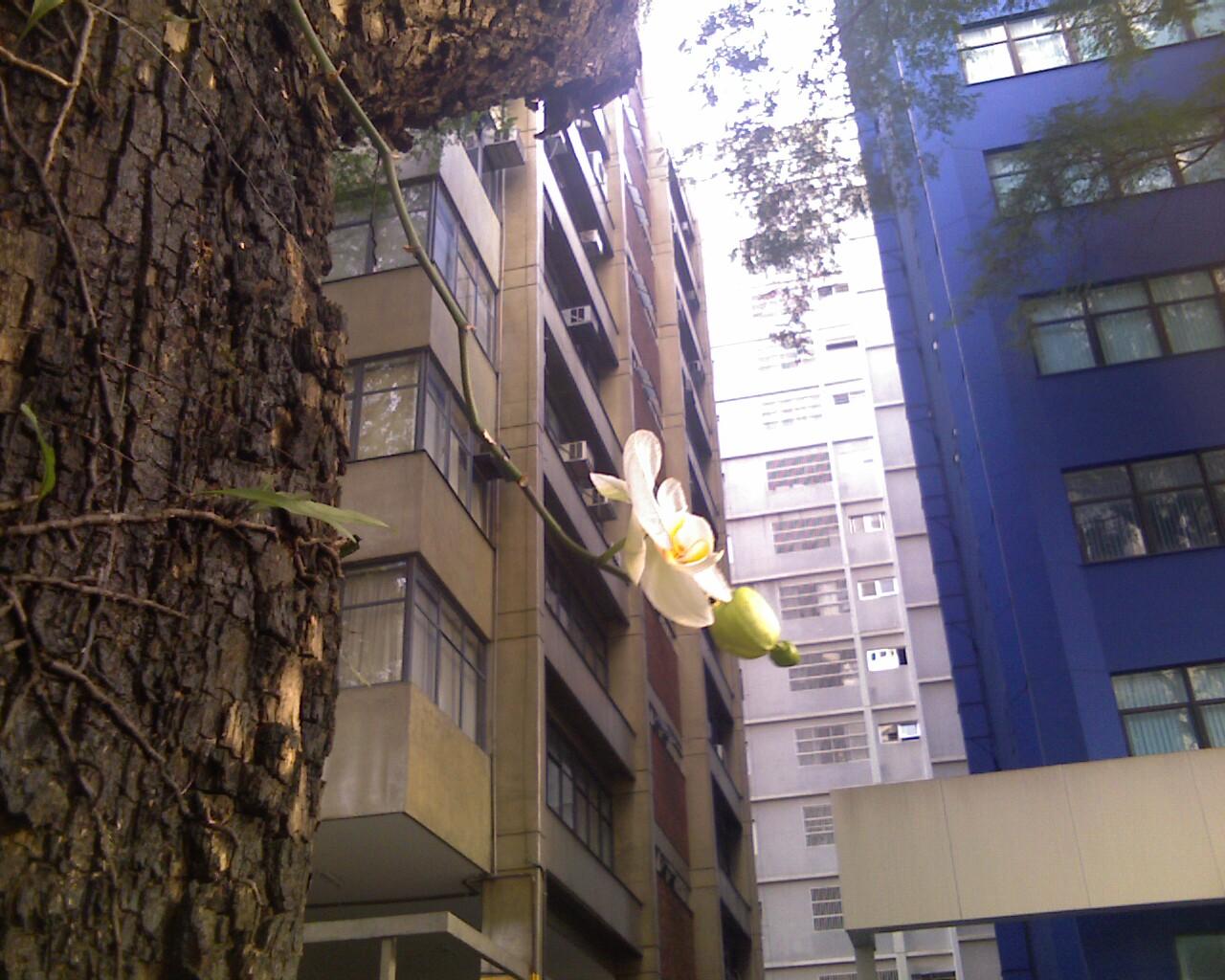 Orchidaceae Paulistana